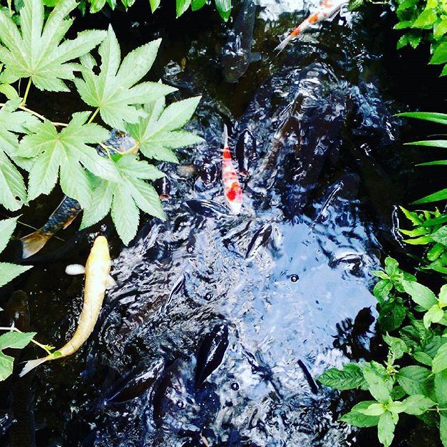 #鯉 #餌がなくても集まる